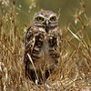 August.23,2006  <U>Burrowing Owl</U>  Original photo without the blurring I did for POTD.
