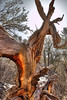<h2>Sentinel</h2>This old tree was standing in the woods looking like it had been there a very long time.