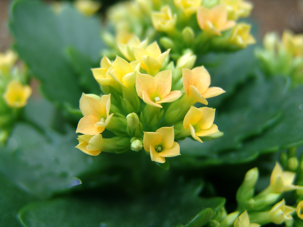 Another succulent type plant with very small flowers. Colour enhanced to bring out the yellow a bit more.