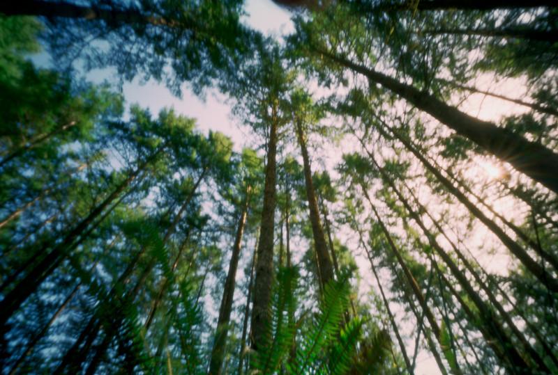 Tree farm, near Yamhill, Oregon.