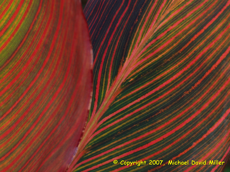 Variegated Canna Lily Leaves,<br /> Oly E330, ZD35 + EC14 Teleconverter
