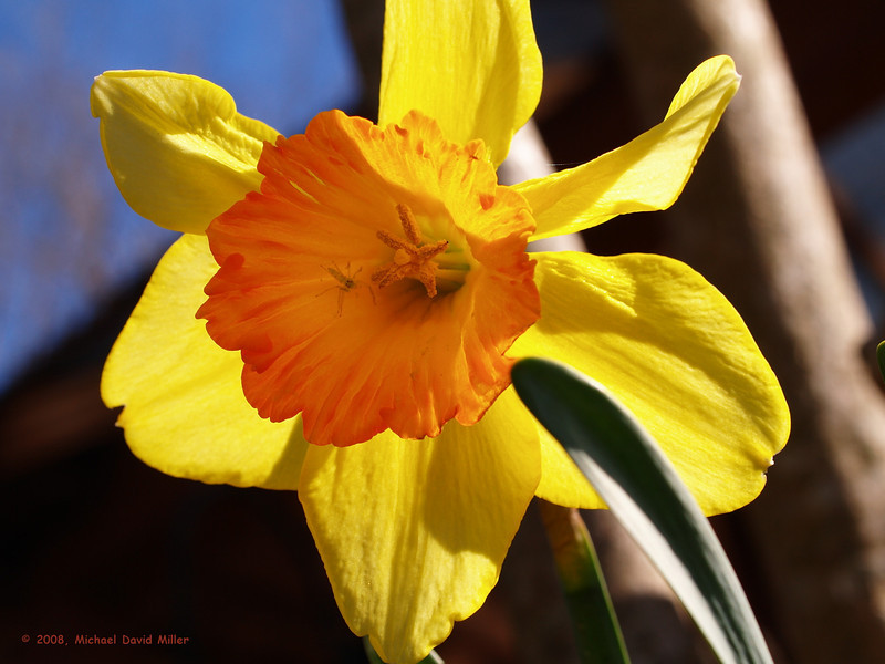 First Daffodil of 2008. Notice the Green Lynx Spider!<br /> Oly E330 and ZD35.