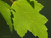 New Green Maple Leaves.<br /> Oly E510, ZD50-200 & EX25 Extension Tube.
