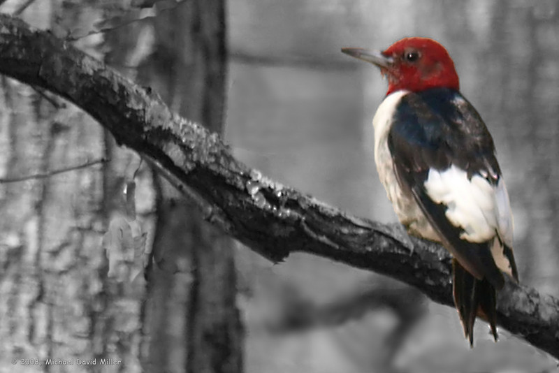 Red Headed Woodpecker. Post processed in Paint Shop Pro XI. <br /> Oly E510, ZD50-200 & EC14 Teleconverter.