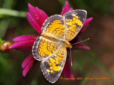 Pearl Crescent, Oly E330, ZD35 + EC14 Teleconverter, Pop-up Flash for fill