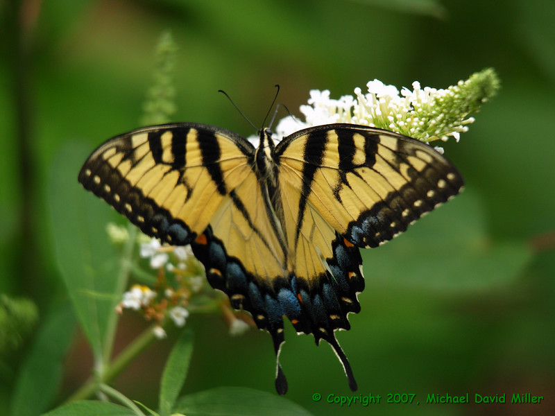 Eastern Tiger Swallowtail,<br /> Oly E500, ZD50-200 + EX25 Macro Extender