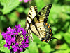 Eastern Tiger Swallowtail<br /> Oly E510, ZD70-300