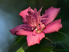 Rose of Sharon, or Althea Tree.<br /> Oly E510, ZD50-200, EC14 Teleconverter
