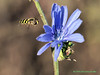 Hovering Bee and Flower.<br /> Oly E510, ZD50-200 & EX25 Macro Extension
