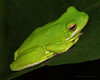 Green Frog.<br /> Oly E510, ZD50-200 & EX25 Extension Tube.