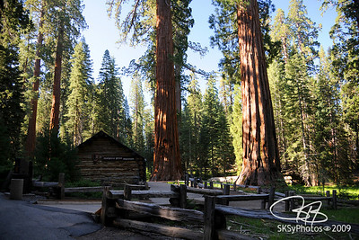 Mariposa Grove sequoias.  Yosemite National Park.