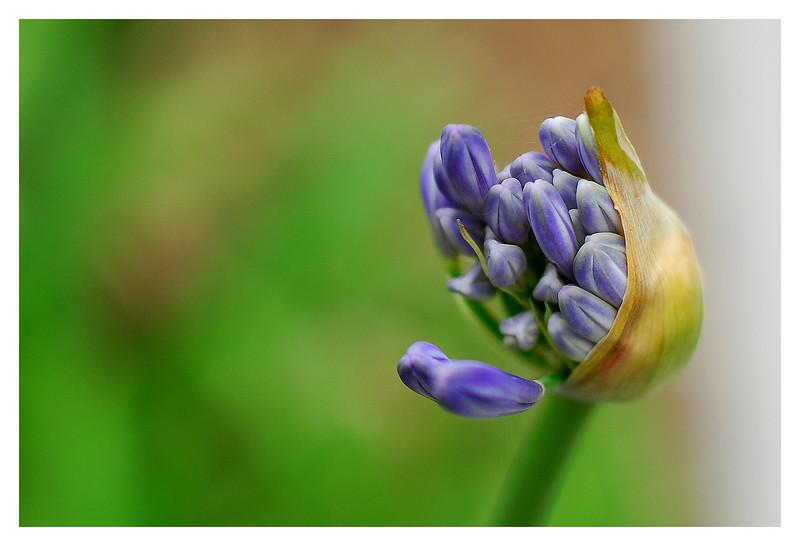 mid-bloom