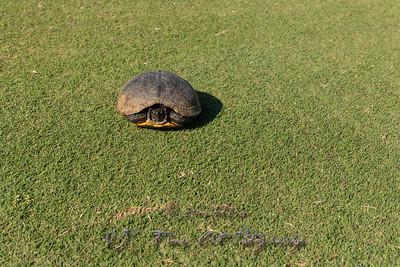 Wild Turtle on Golf Course