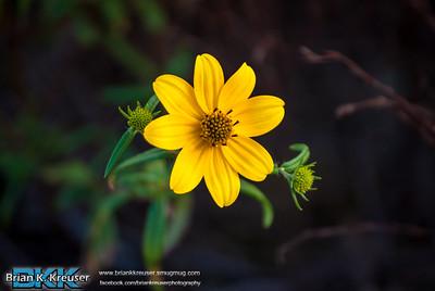 Arabia Mountain Yellow Daisies 100213
