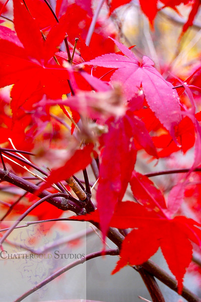 Fall Leaves .  This Image is © Tricia Chatterton Goldrick/Chattergold Studios.  All Rights Reserved.  No duplication without permission (see commercial downloads).  This image may be downloaded from this website for blogging purposes only.