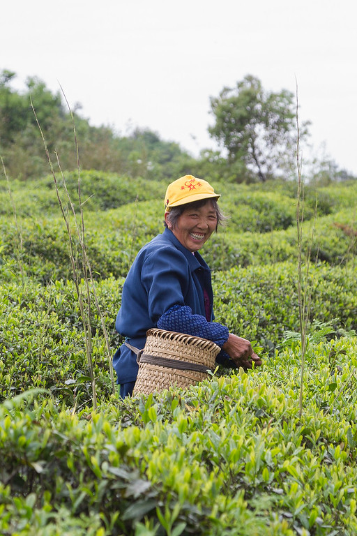 Woman tea picking