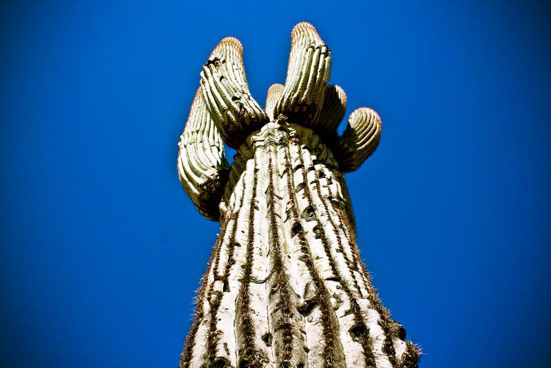 Saguaro.
