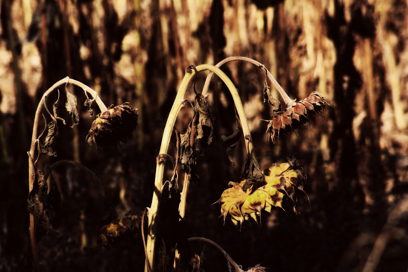 Sunless Flowers.