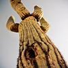 Saguaro looking down.