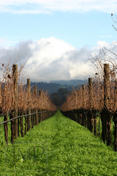 A Vineyard's Winter - Winter in California is so backward of New England.  Out in the Napa Valley, where these photos were taken, the grass is brown all summer and then turns a lush green in the winter when it starts raining again.  Taken at Sequoia Grove Vineyards in Rutherford, CA.