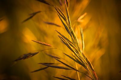 Evening Wild Grass