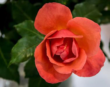 Pleasanton Rose Show