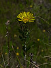 <em>Grindelia stricta var. angustifolia</em>, Marsh Gum Plant, native. <em>Asteraceae</em> (= <em>Compositae</em>, Sunflower family). Point Molate, Contra Costa Co, CA 5/16/10