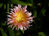 <em>Carpobrotus edulis</em>, Hottentot-fig, , S. Africa.  <em> Aizoaceae</em> (Fig-marigold family). Point Molate, Contra Costa Co., CA 12/4/09