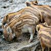 Wild boar's piglets