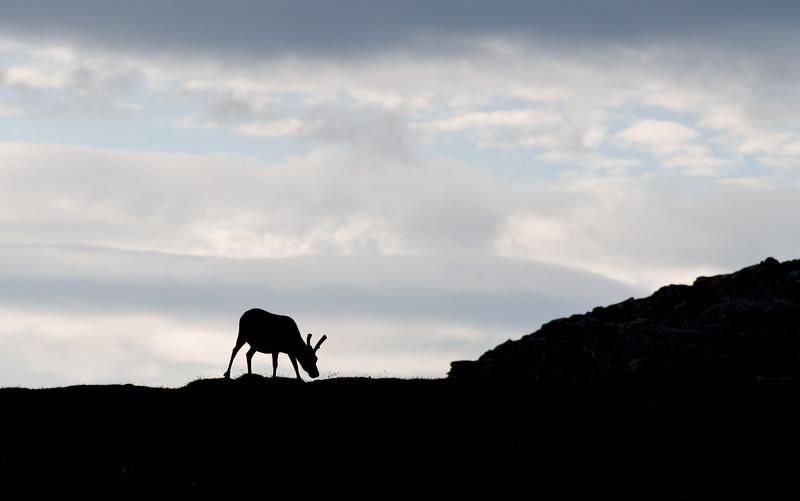 Reindeer near Alkhornet, Svalbard