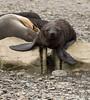Fur seals at Stromness, South Georgia