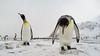 King penguins at Fortuna Bay, South Georgia