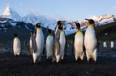 King penguins at Saint Andrews Bay, South Georgia