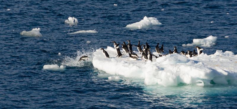 Adelie penguins at Cape Adare, Antarctica