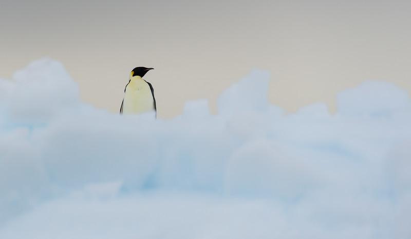 Emperor penguins in the Bay of Whales, Antarctica