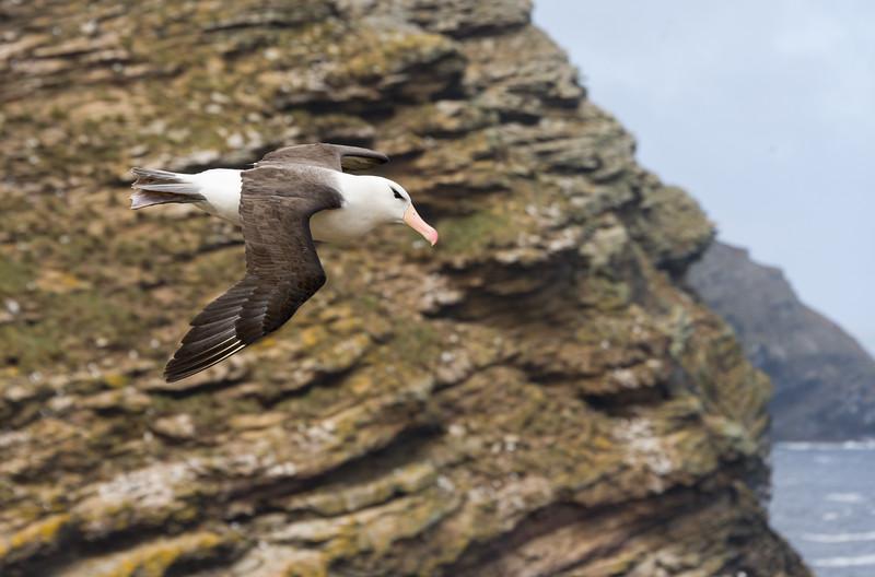 Black Browed Albatross and Rockhopper penguins at West Point, Falkland Islands
