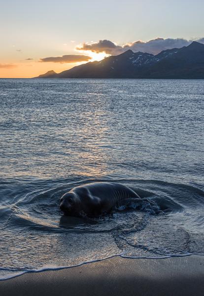 Elephant seal at Saint Andrews Bay, South Georgia