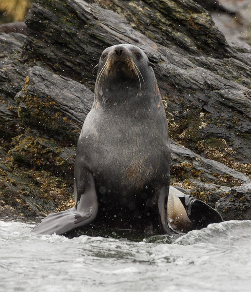 Macaroni penguins and fur seals at Coopers Bay, South Gerogia