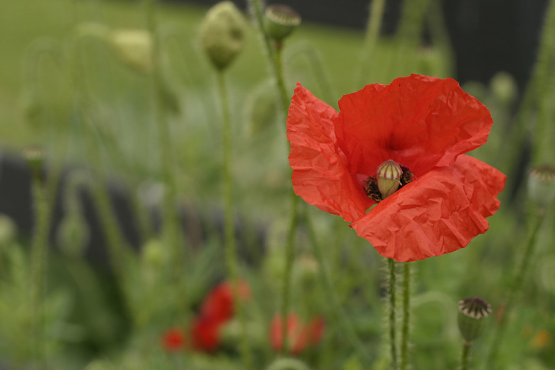 Poppy seed, red