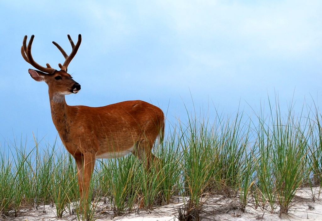 August 2, 2008 Daily Photo. Day 150. 150 days of daily photos...I guess that is a milestone...not sure how long I can keep doing it.<br /> <br /> Deer on the dunes at Fire Island. He was mostly intently watching the volley ball game. It was a pretty overcast day until about 3:30pm.