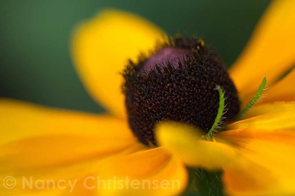 <b>Black-eyed Susan Close-up</b>