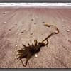 "Marooned <br /> Seaweed (""tare"") at the beach, Mjelle"