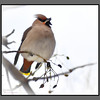 Alive and singing<br /> Bohemian Waxwing in Bodø in february, -10C and windy
