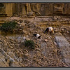 The robust local goats, grassing in the most improbable spots