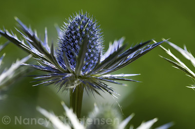 Big Blue Sea Holly  Eryngium 'Big Blue'