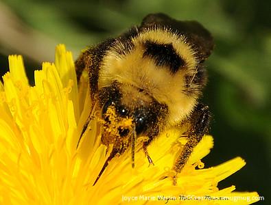 Bumble Bee 11