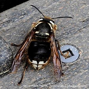 Baldfaced Wasp