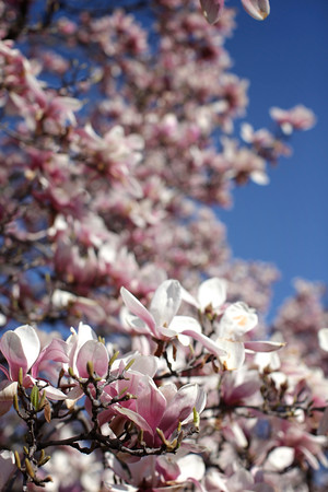 DC Blossoms - April '13