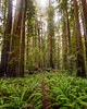 Among the Giants - Stout Grove - Redwoods National Park, California
