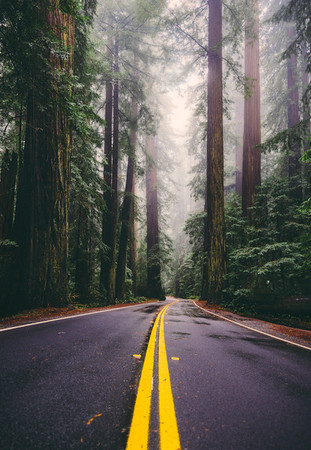 Follow Me Home - Avenue of the Giants - Redwoods National Park, California